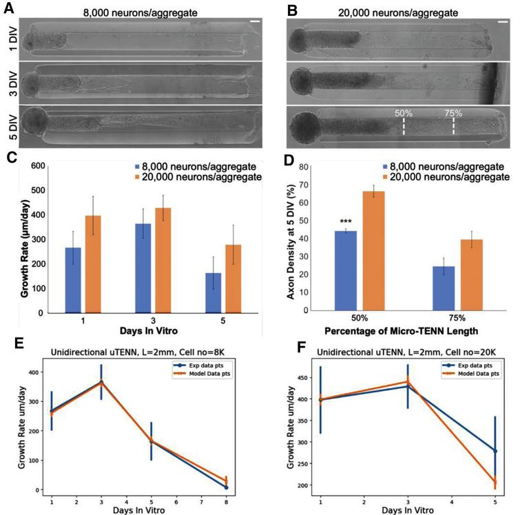 Calibration of simulated growth rates in vitro. (A) Phase images of a unidirectional micro-TENN with approximately 8,000 neurons at 1, 3, and 5 DIV. (B) Phase images of a unidirectional micro-TENN with approximately 20,000 neurons at 1, 3, and 5 DIV. Both micro-TENN groups exhibited rapid axonal growth over the first few DIV. Scale bars: 100 μm. (C) Growth rates from both micro-TENN groups at 1, 3, and 5 DIV. Micro-TENNs with ∼20,000 neurons/aggregate exhibited qualitatively faster growth rates than those with ∼8,000 neurons/aggregate, although there were no statistically significant differences in growth rates. (D) Axon density at 5 DIV across the two groups at 50% and 75% along the micro-TENN length (as illustrated in (B)), quantified as the percentage of the microcolumn channel occupied by axons. Micro-TENNs with ∼20,000 neurons/aggregate showed higher axon densities than those with ∼8,000 neurons/aggregate, although this was only significant at 50% along the micro-TENN length (*** =p<0.001). (E) Experimental versus model growth rate for unidirectional micro-TENN with 8,000 neurons. (F) Experimental versus model growth rate for unidirectional micro-TENN with 20,000 neurons.